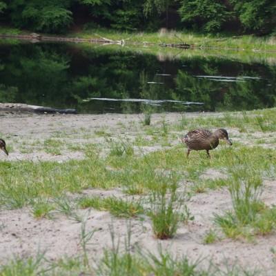 Młode kaczki na spacerze